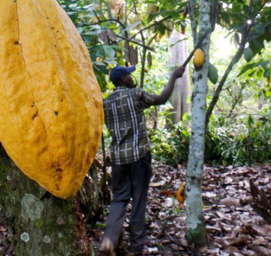Nuevo Plan Nacional de Renovación de cultivos de cacao beneficiará a 10 mil familias